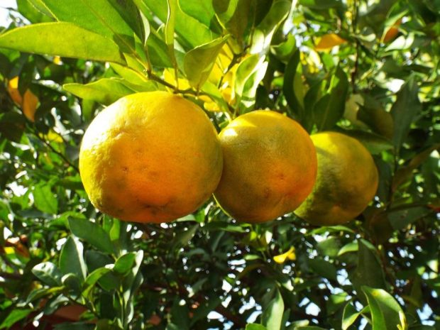bergamot-the-wellness-fruit