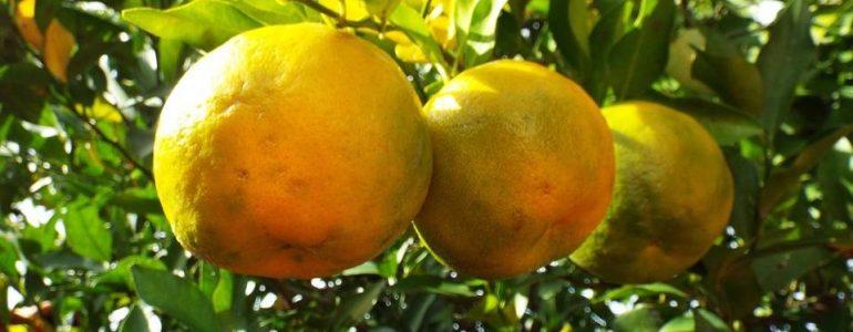 bergamot-the-wellness-fruit